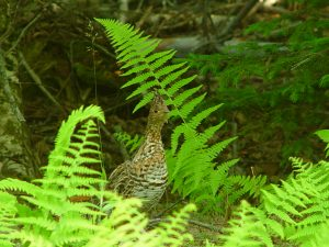 Ruffed grouse hen