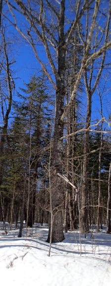 Oak, Yacolucci Woods, March 2014