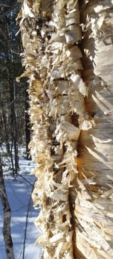 Yellow Birch, Yacolucci Woods, March 2014