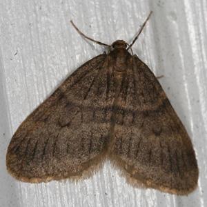 Male Winter Moth - photo credit: Bo Zamba